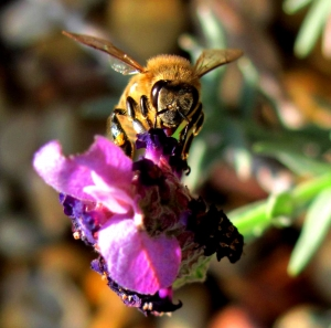 bees-pollinating-3-1346028-m.jpg